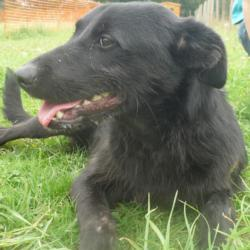 EGOo - x labrador noir 10 ans (8 ans de refuge)- AID Animaux à Chateaubriant (44) 561_ego1