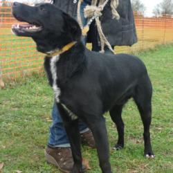 FLUOR  -  Labrador noir cravate blanche, 9  ans  (8 ans de refuge) -  REFUGE DE  CHATEAUBRIANT  (44) 594_fluor2